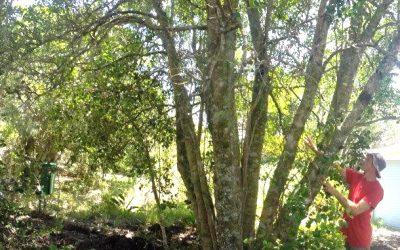 The amazing candlewood tree