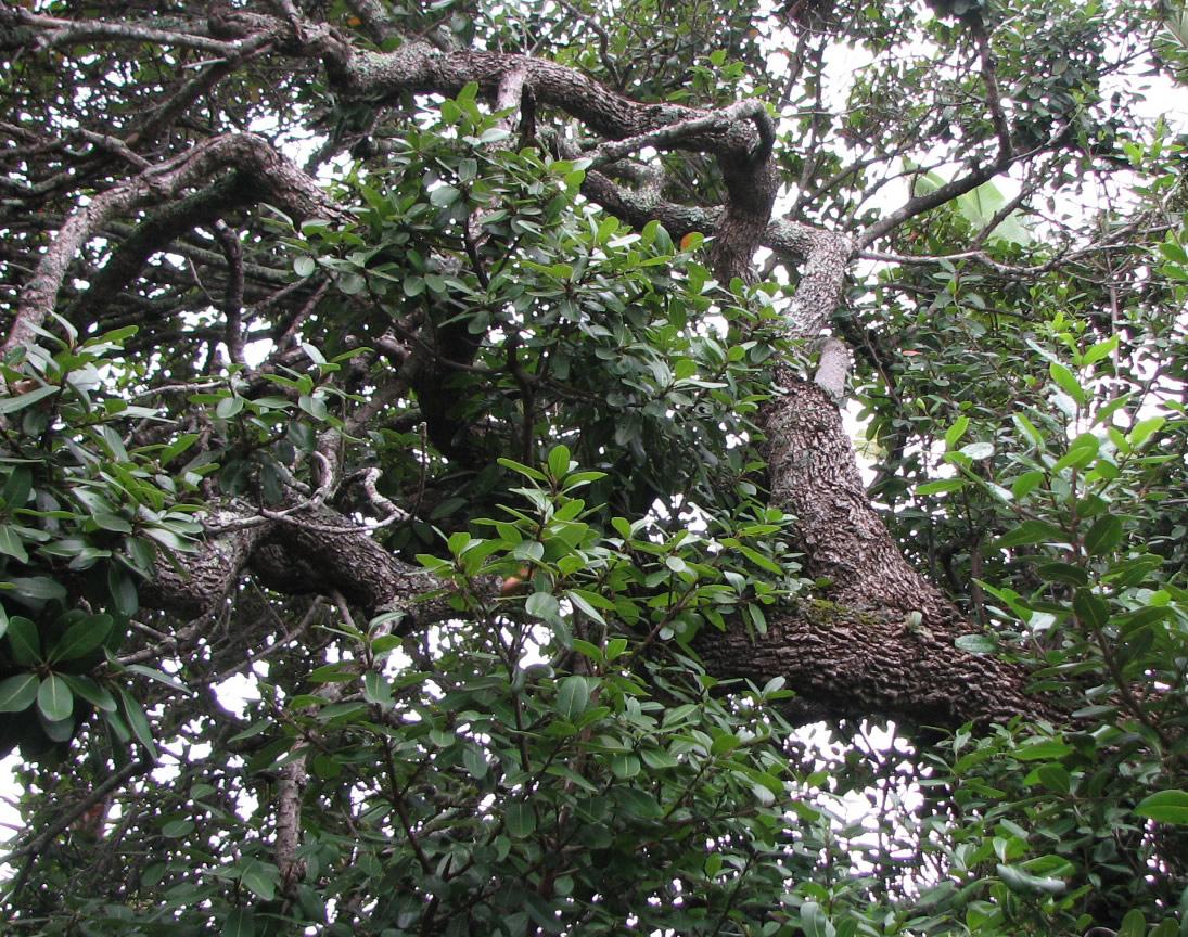 Milkwood tree - Reitz Tree Care