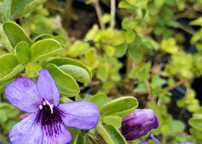 Dyschoriste thunbergiifolia