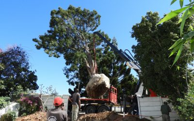 Giant yellowwood saved in dramatic transplant